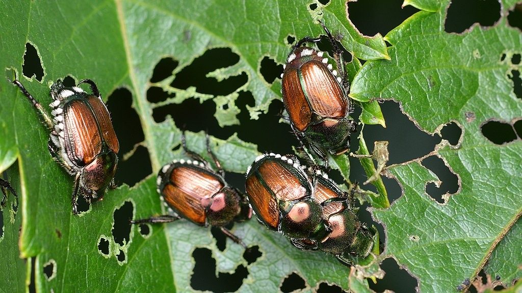 Japanese Beetles - Coming Soon to a plant near you!