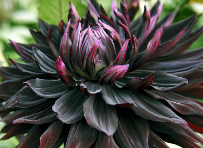 Unfolding Black Dahlia in Goth Garden